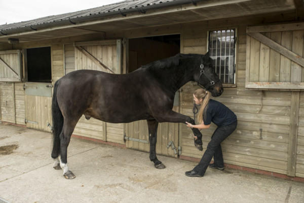 Equine Forelimb protraction stretch